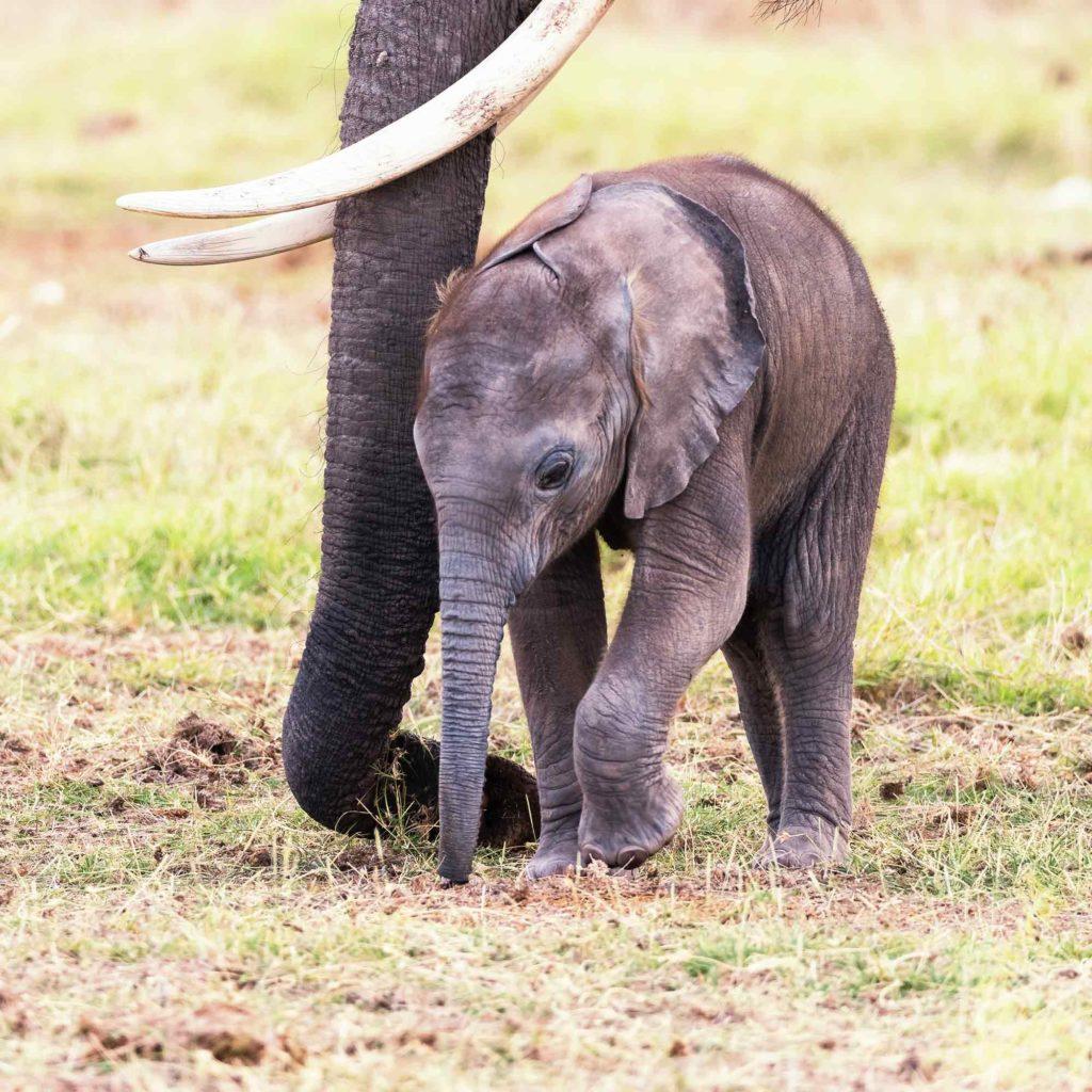 Der Baby Elefant schmiegt sich an seine Mama